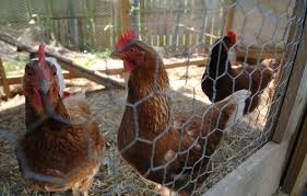 chickens-in-coop